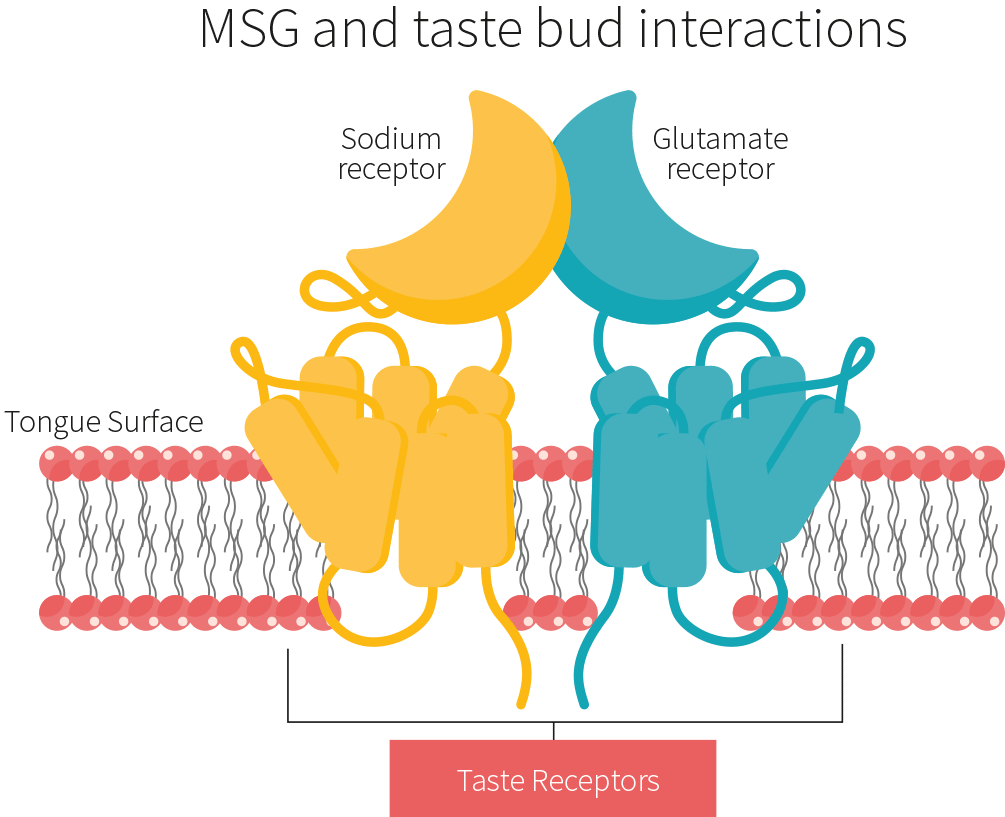 MSG sweetener and taste bud interactions